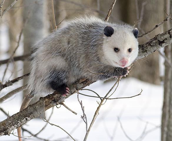 585px-Opossum_2.jpg
