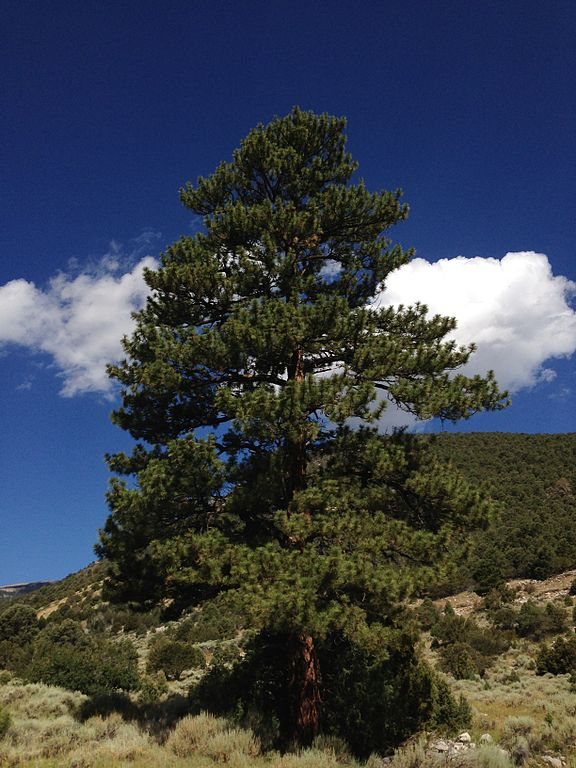 2013-07-14_09_15_34_Ponderosa_Pine_along_Wheeler_Peak_Scenic_Drive_in_Great_Basin_National_Park,_Nevada.jpg