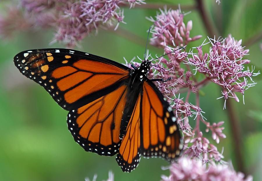 danaus-plexippus-butterfly-juergen-roth.jpg