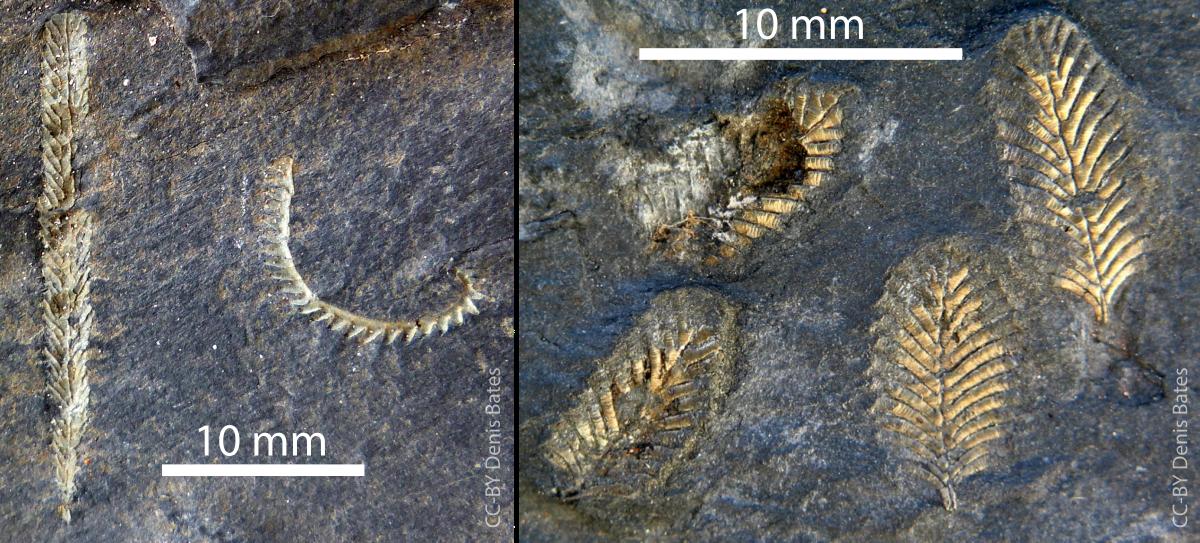 Mesograptus magnus  and  Monograptus triangulatus  (left) and  Petalolithus  (right) from the O T Jones locations.