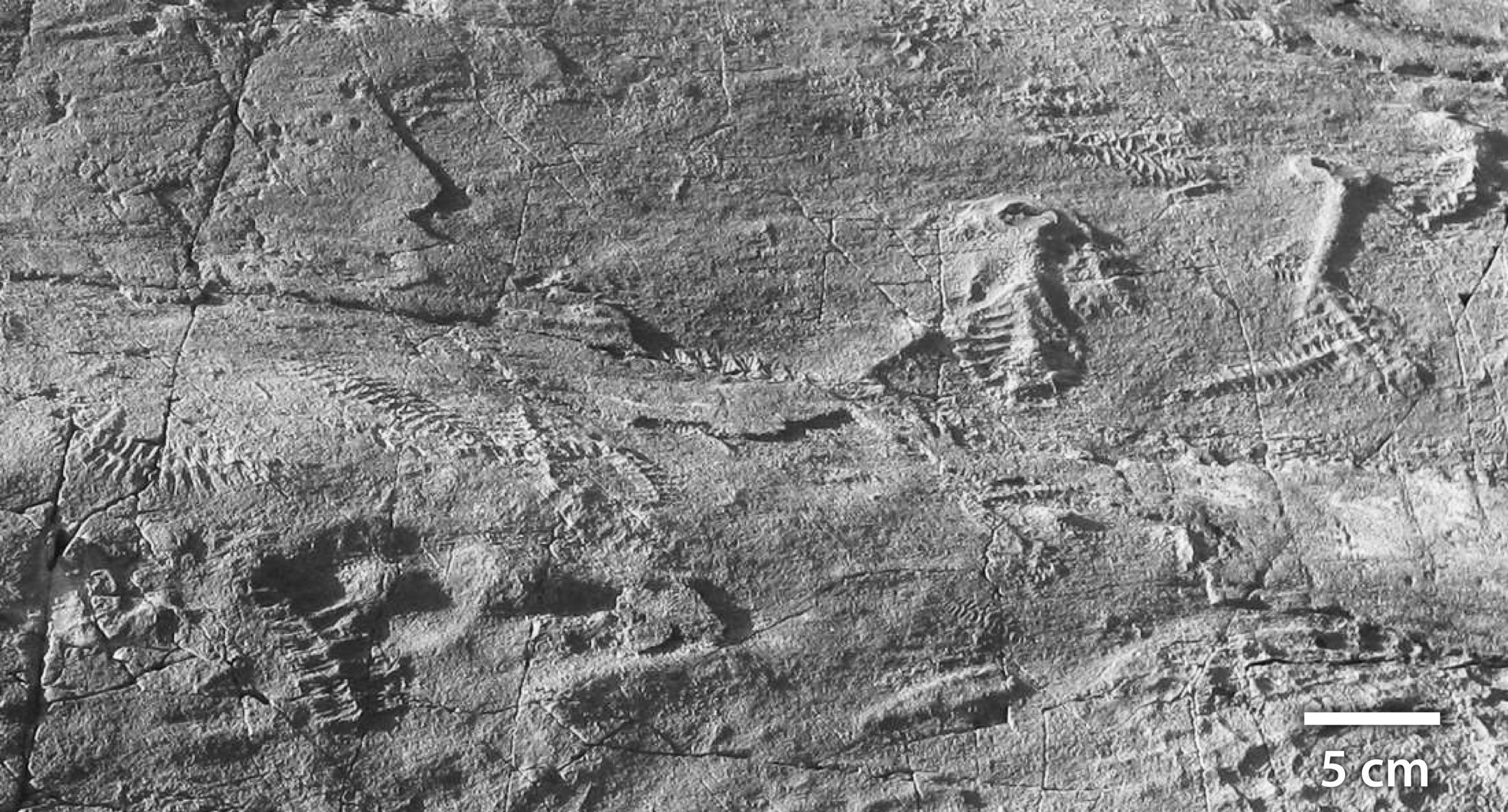 A close-up view of one of the key Ediacaran localities: 'E' surface, Mistaken Point, Newfoundland, Canada (565 Ma). At the top right, various frondose organisms including Charniodiscus can be seen, while a cluster of Fractofusus can be seen at the bottom left, exhibiting the multiple levels of branching. This community lived in deep water, and is thought to have lived off dissolved organic carbon found in the water column.