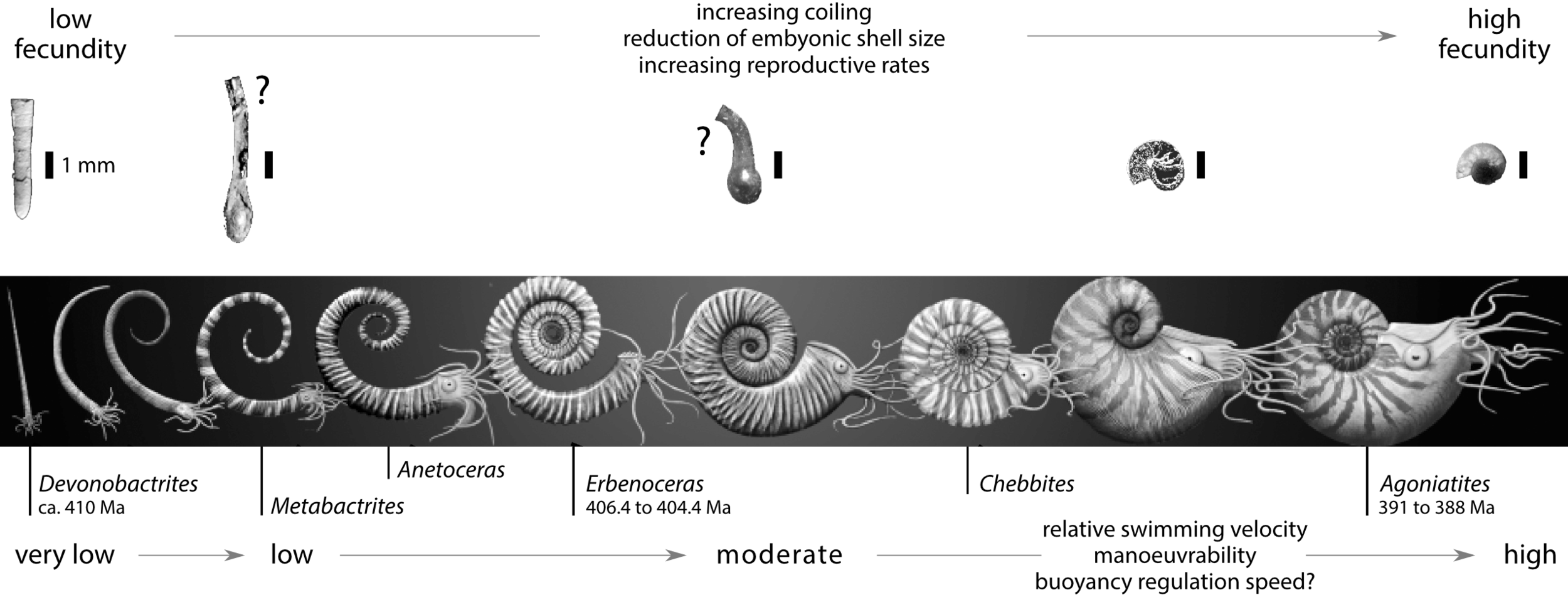 Evolutionary changes around the transition from Bactritida to Ammonoidea including (top to bottom) fecundity,embryonic shell, adult shell shape, and other attributes.