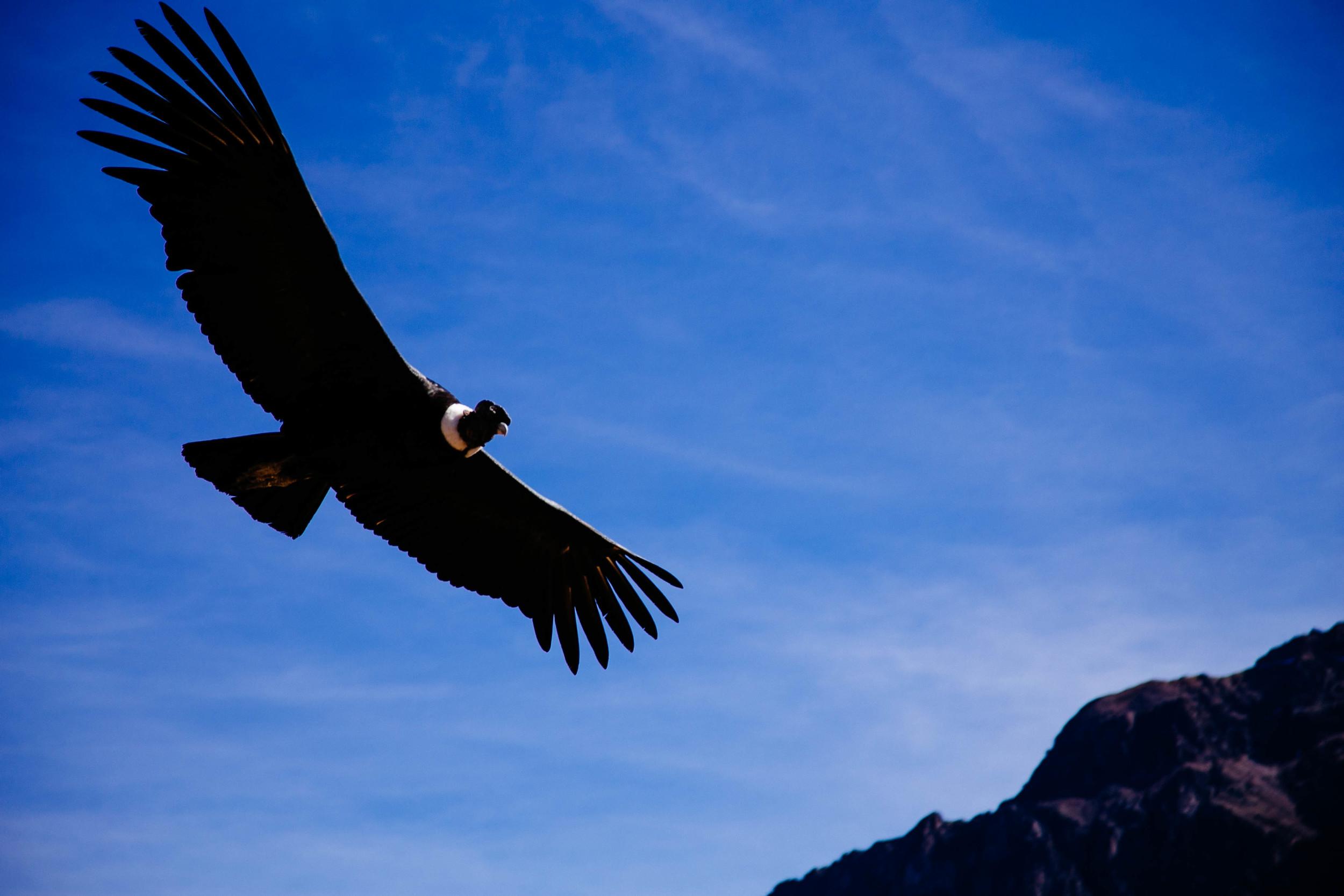 A close up of the condor