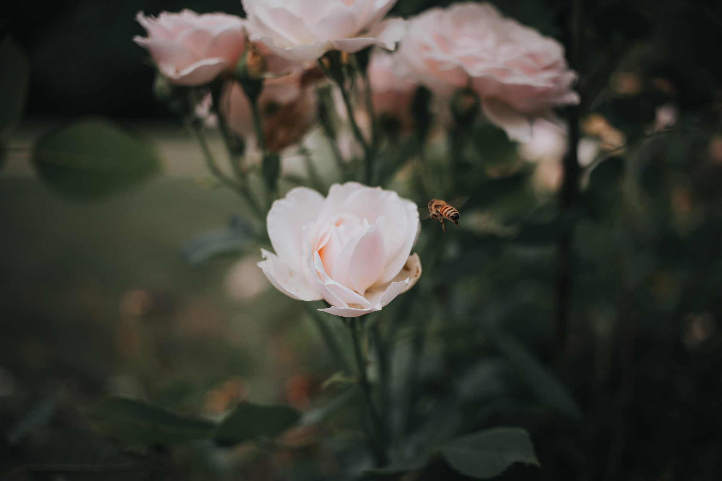 bee-on-rose-during-wedding-ceremony-desmoines-iowa-rose-garden-raelyn-ramey-photography.jpg