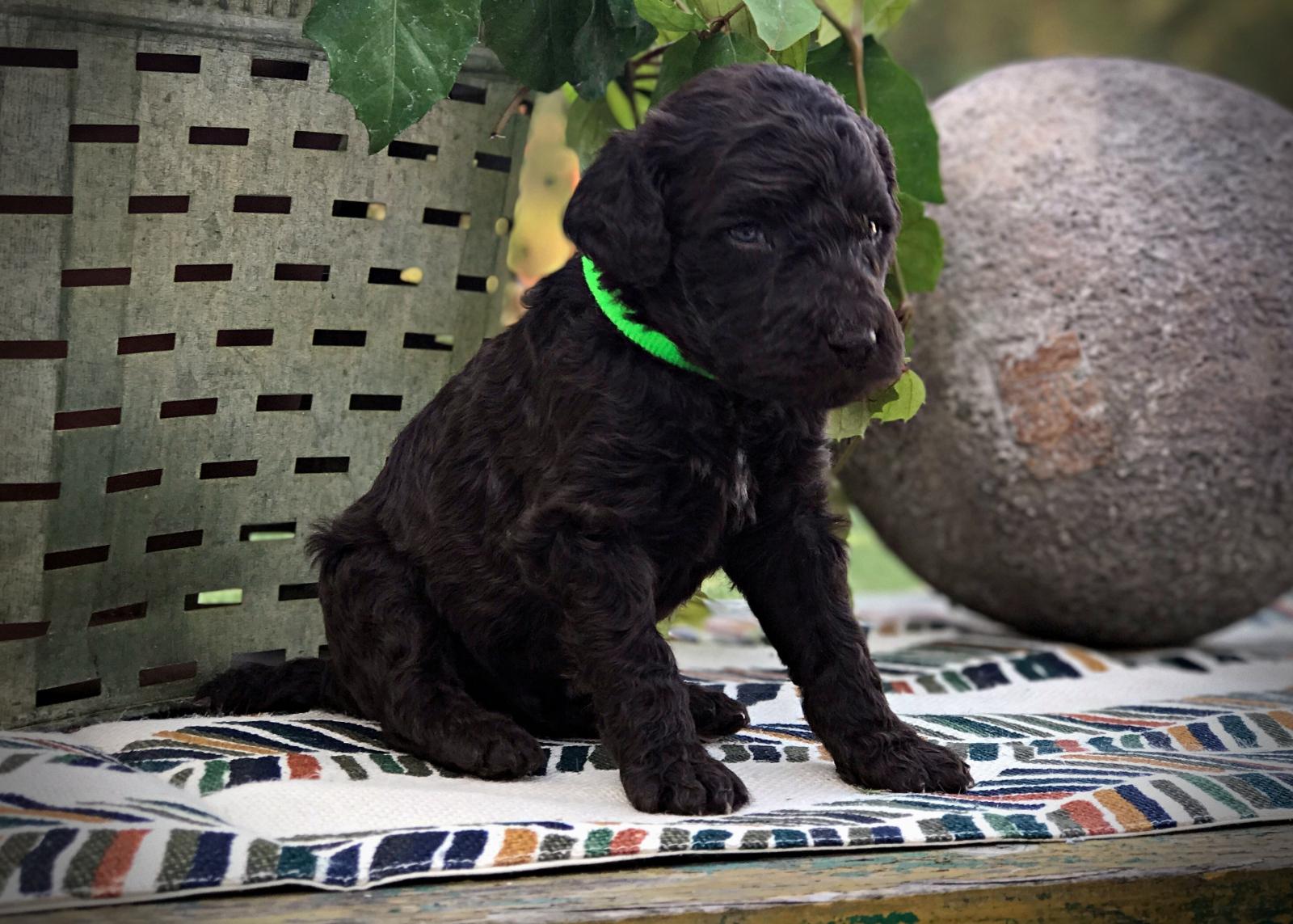 lime1_standard_poodle_puppy.JPG