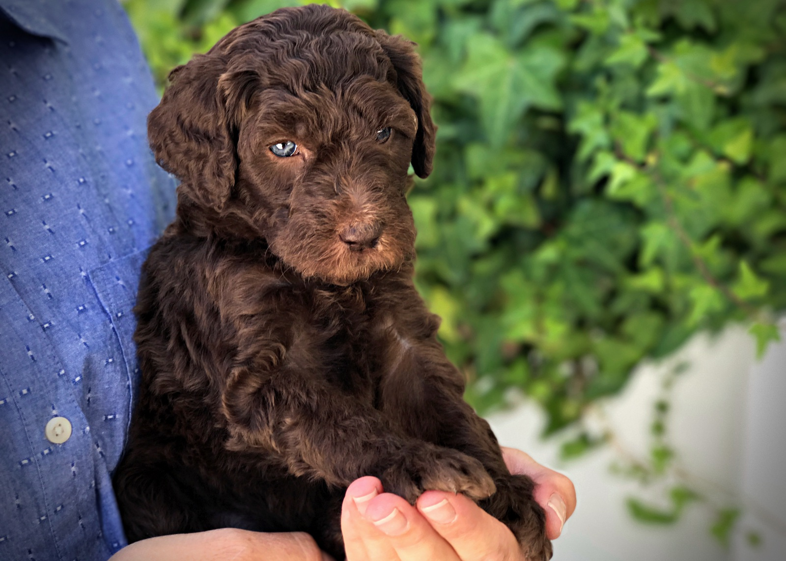 yellow1_standard_poodle_puppy.jpg