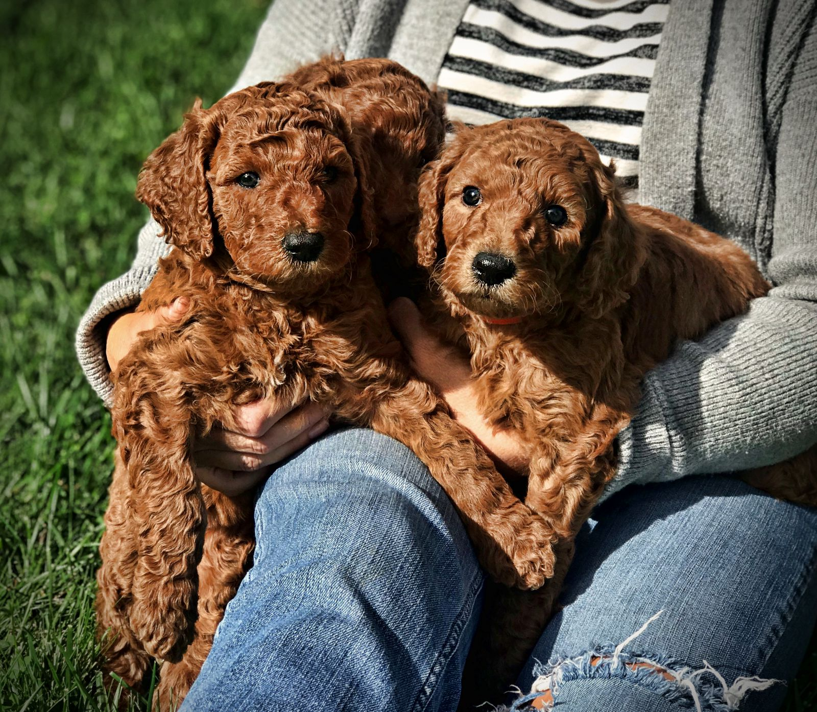 4group.standard.poodle.puppies.red.jpeg