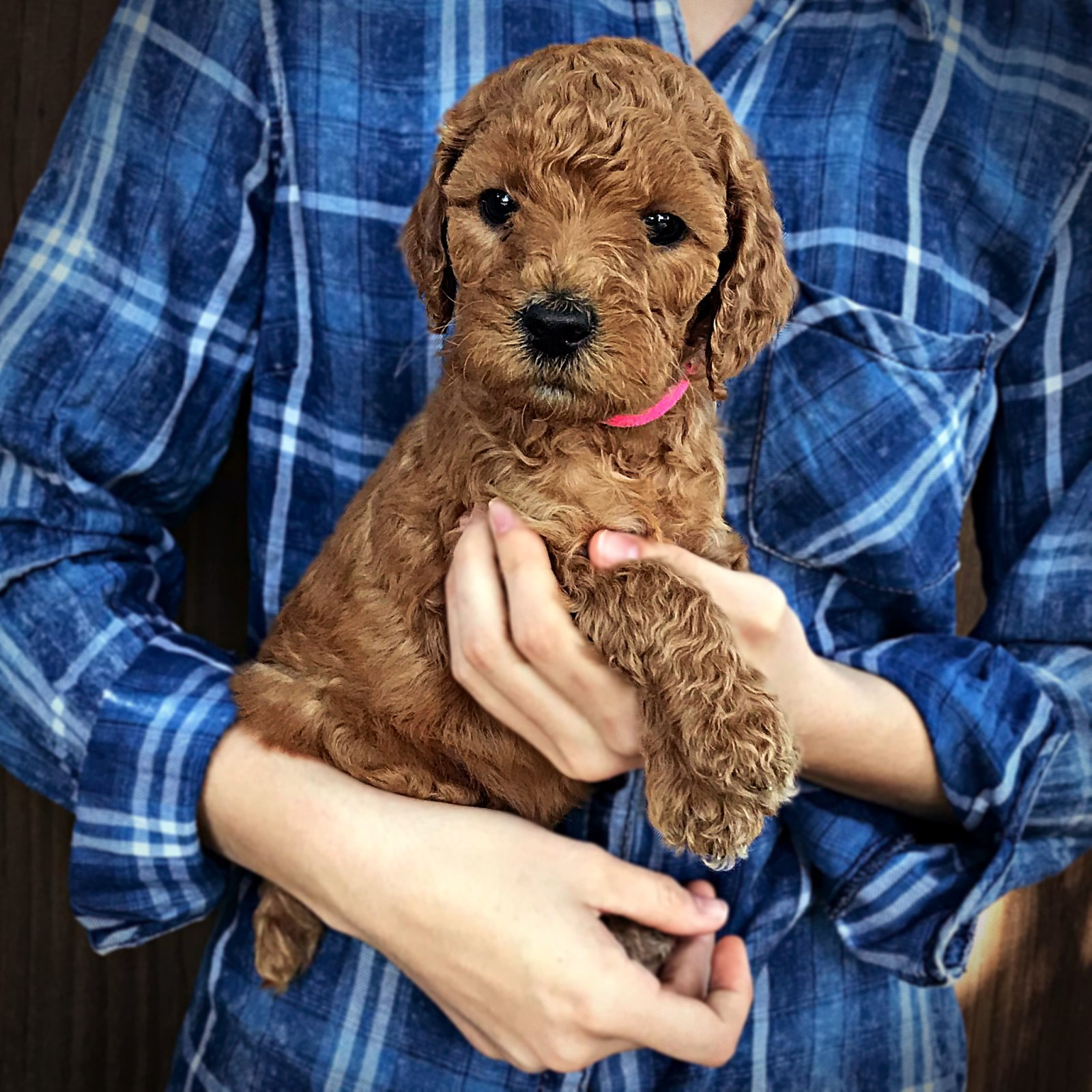 pink1_standard_poodle_puppy_red.jpg