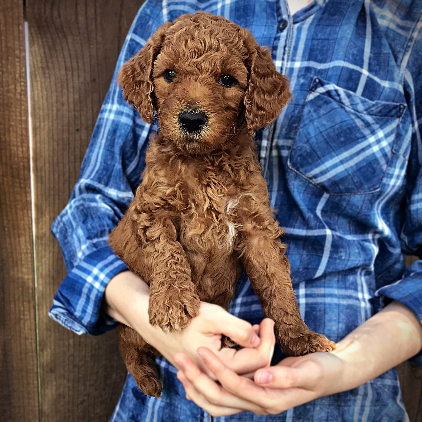 red1_standard_poodle_puppy_red.jpg