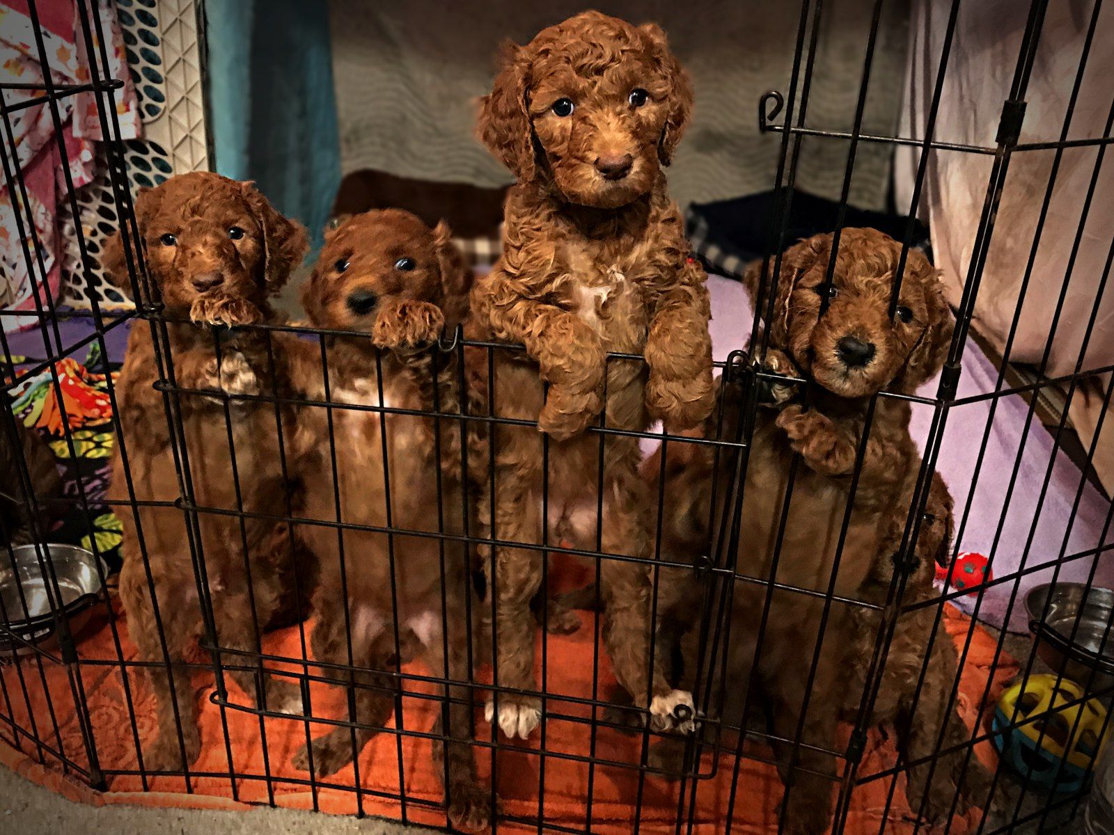 group1_standard_poodle_puppy_red.jpg