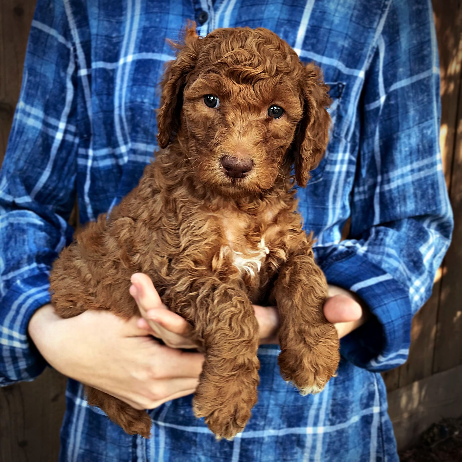 purple1_standard_poodle_puppy_red.jpg