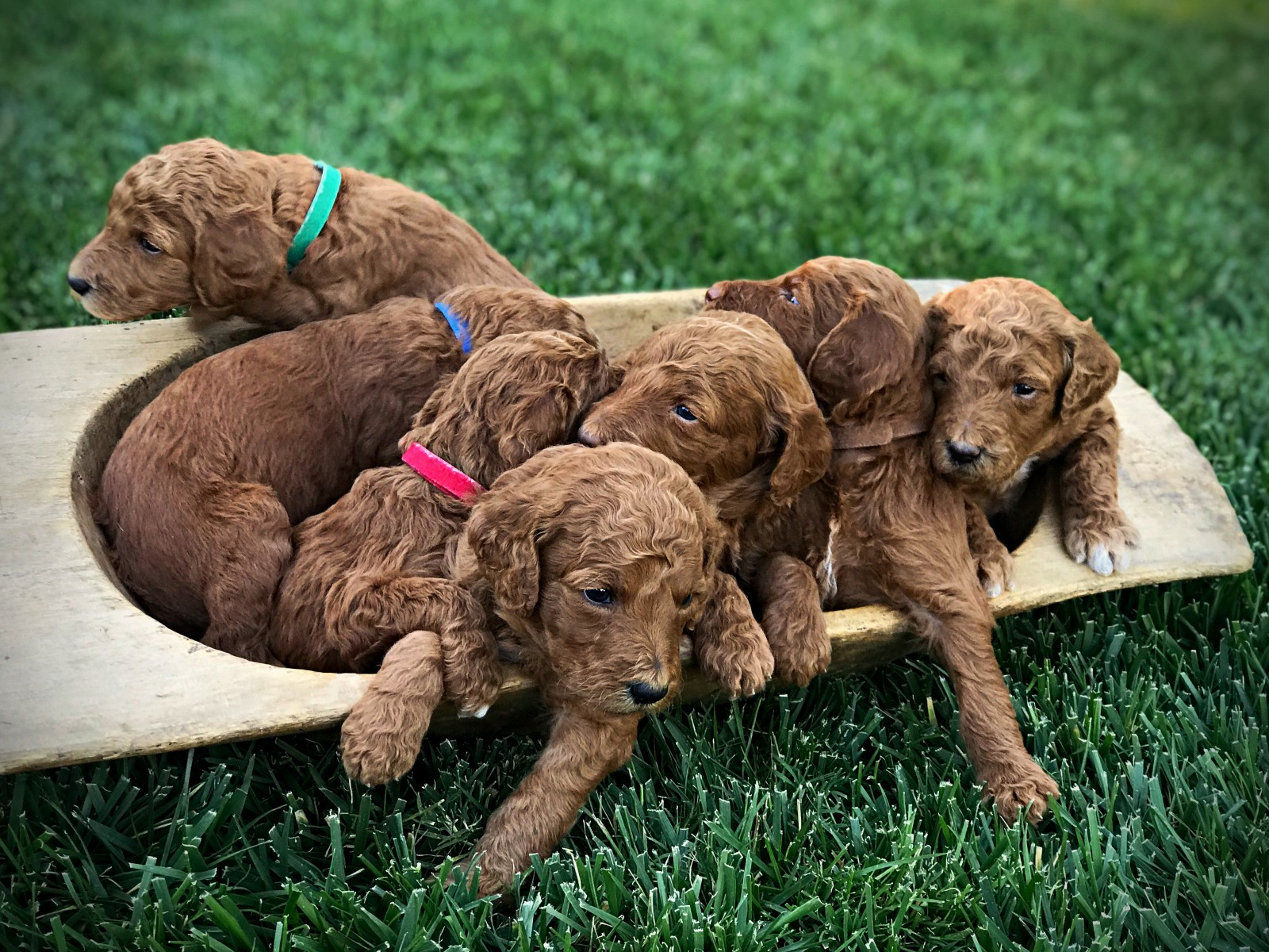 boys.standard.poodle.puppies.red..jpg