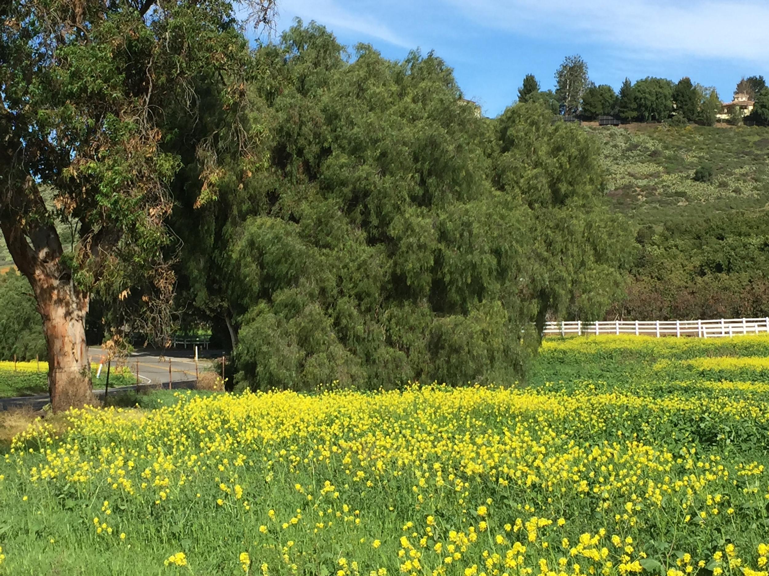 Mustard plants dot the fields near my home in Thousand Oaks, CA