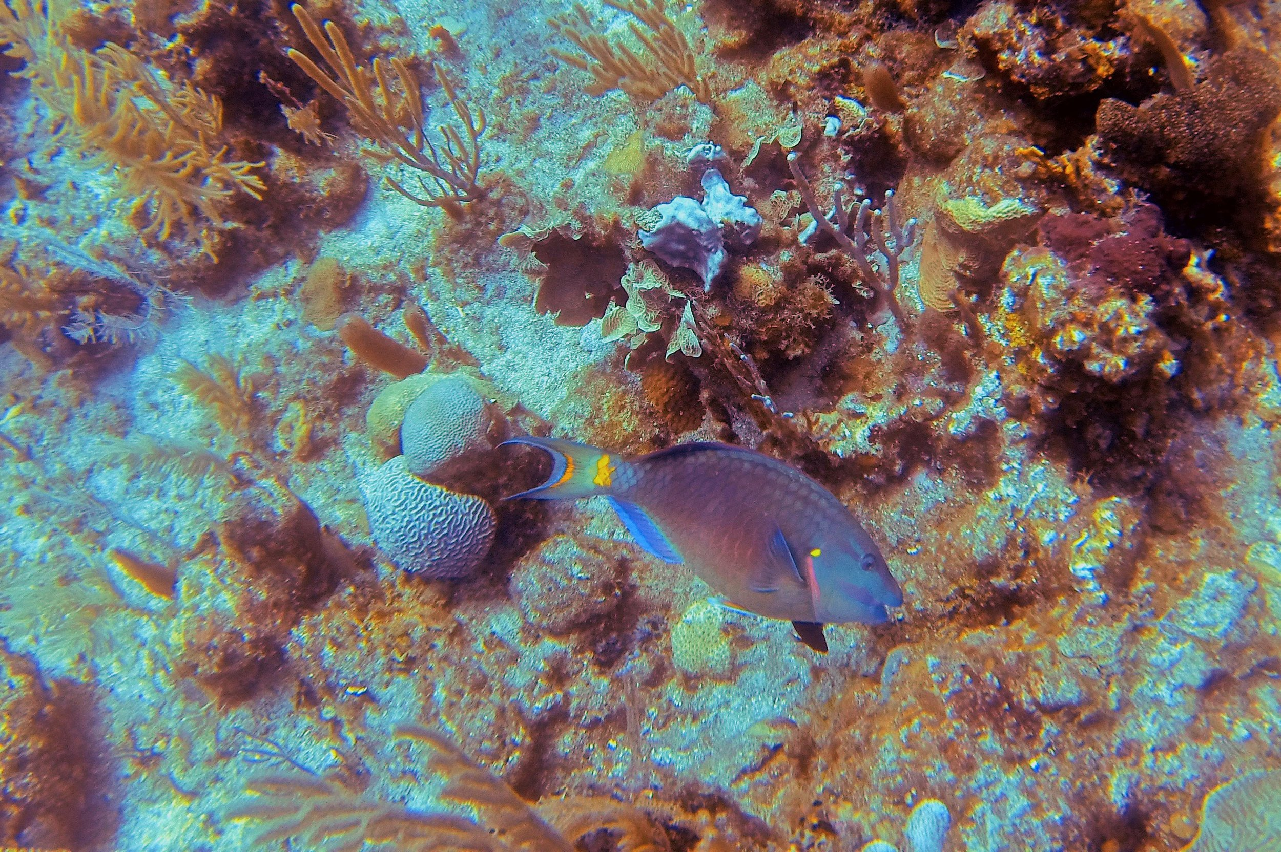 Stoplight Parrotfish (Terminal Phase)