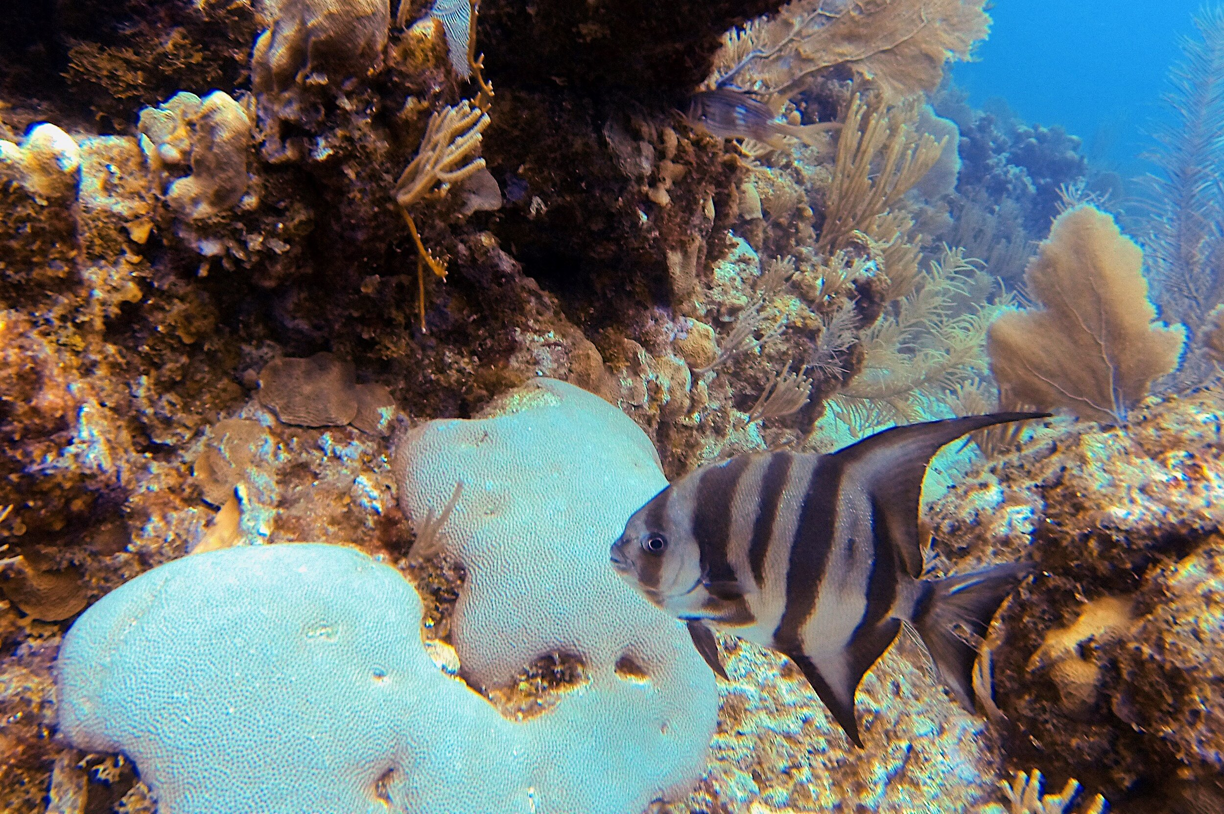 Atlantic Spadefish and bleached Massive Starlet Coral