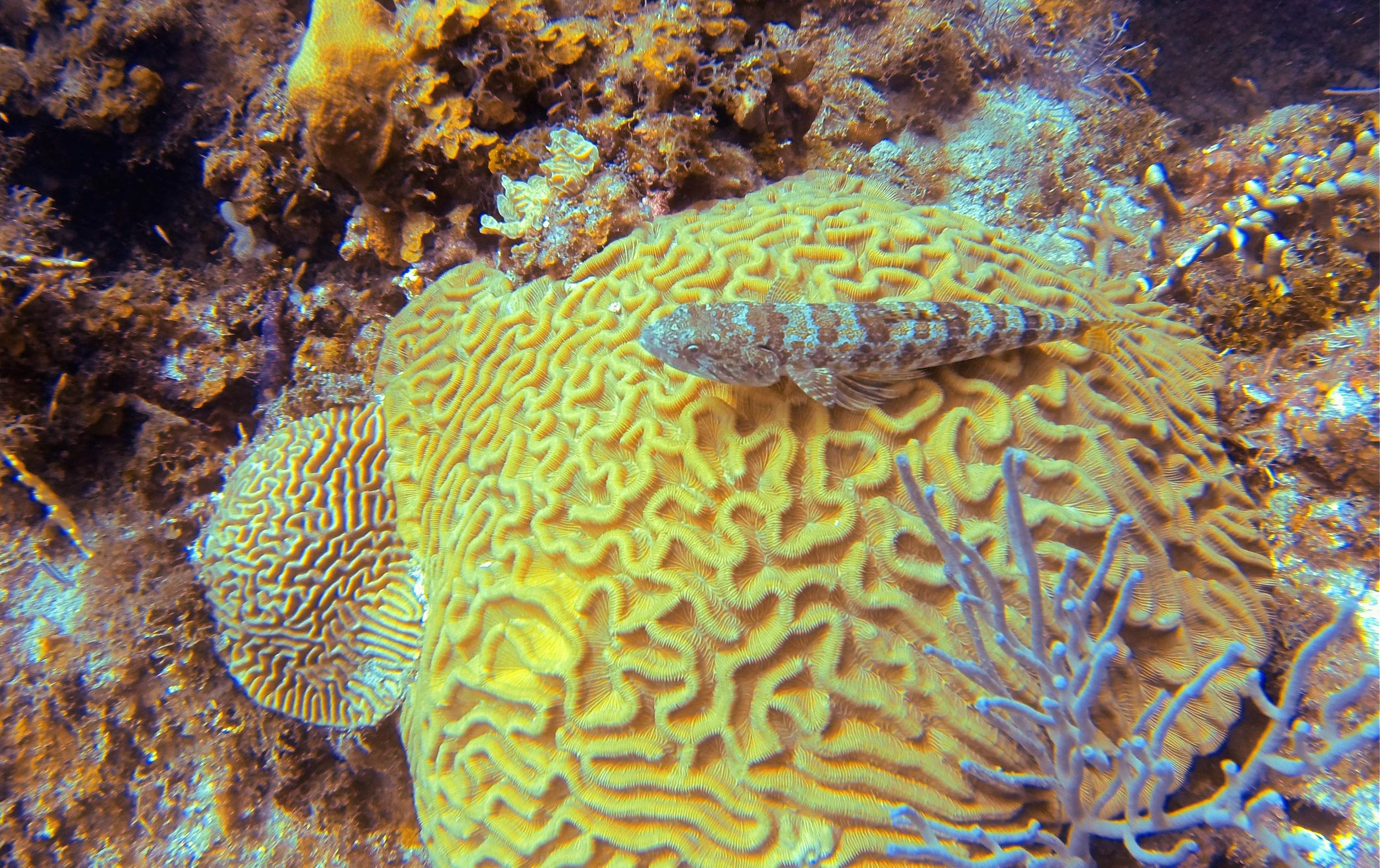 Sand Diver on Boulder Brain Coral