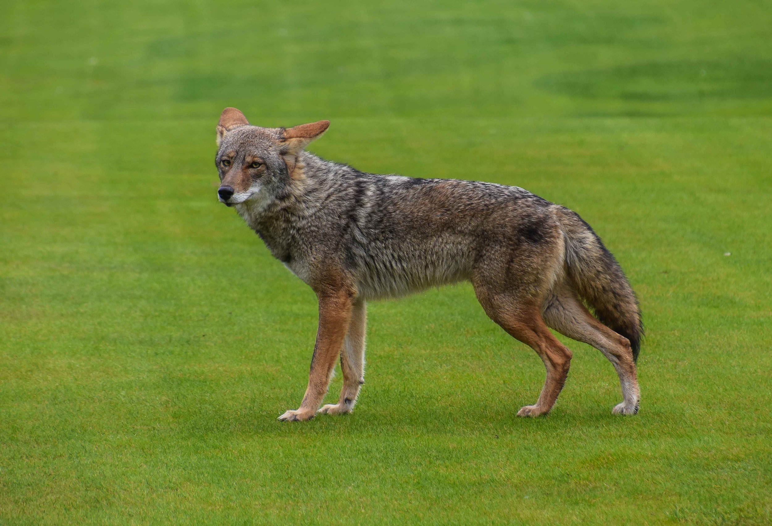 Cal Club Coyote wants your snacks.