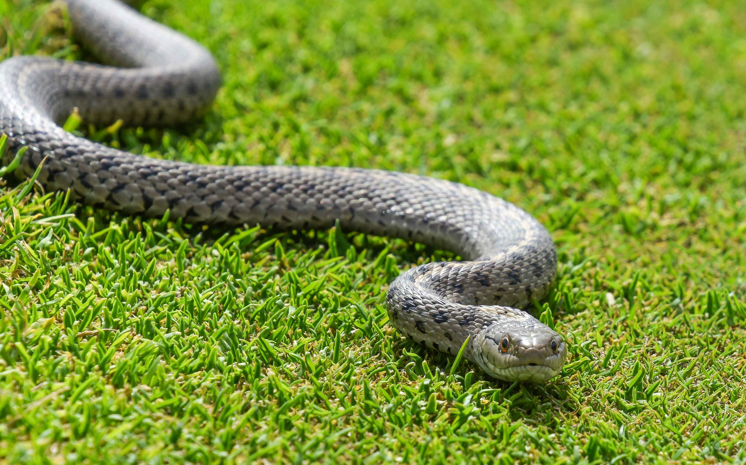 Golf Snake Alert! This harmless little guy was hanging out near the pin on the 2nd hole. He witnessed several pars and a lip out bogey.
