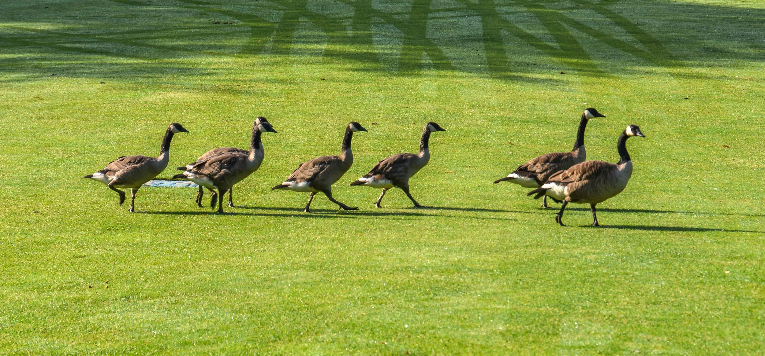Usually, I hate Canadian Geese, but these fellas were oddly polite.