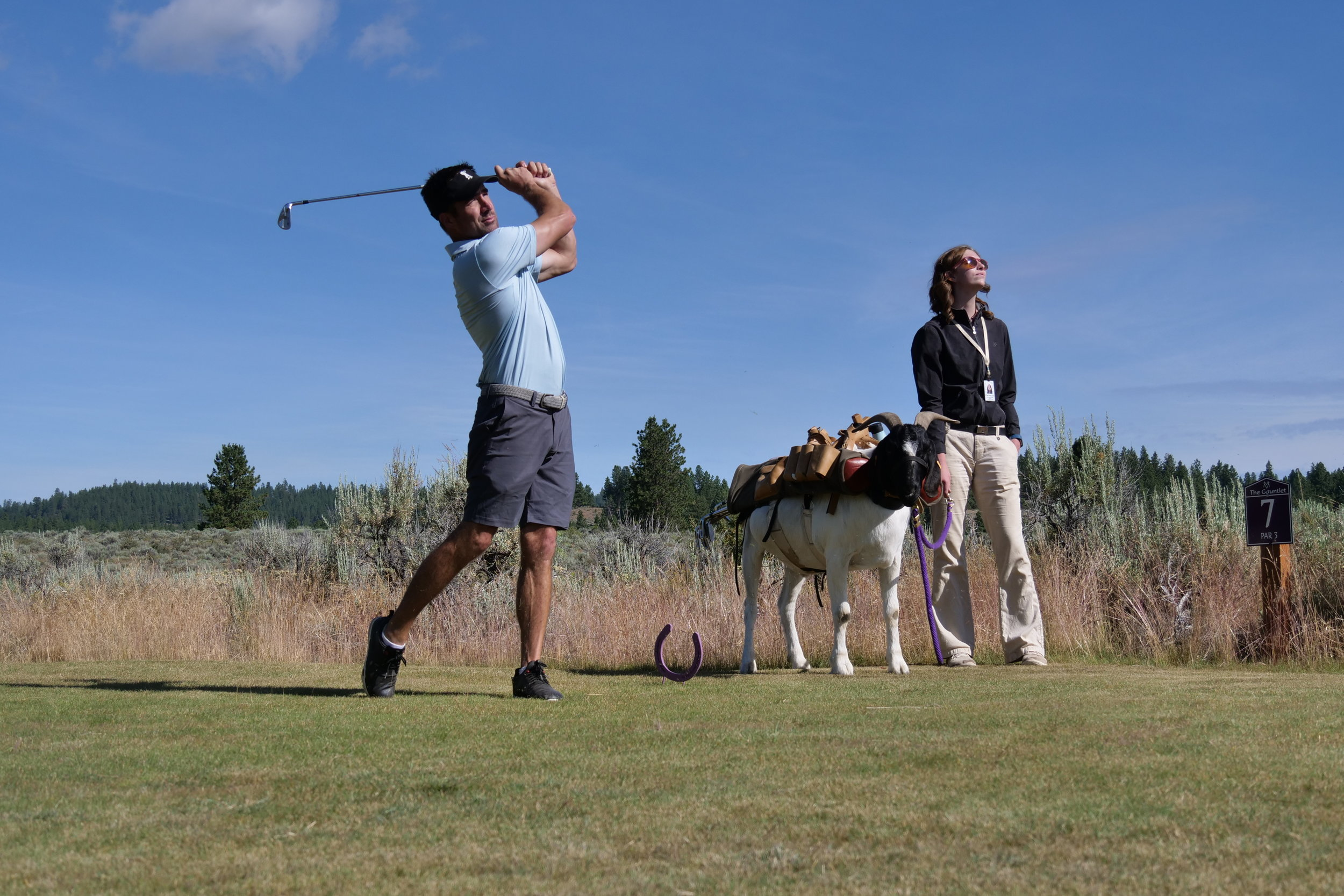 Bruce the goat caddy eyes and assesses the golf action.