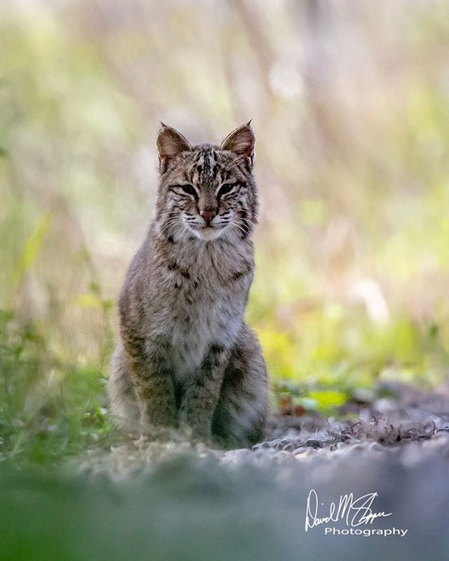 """""""I'm watching you watching me"""". A young Bobcat at the Savannah National Wildlife Refuge. #cat #catsofinstagram #cats #meow #bobcat #herekittykitty"""