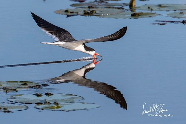 The appropriately named Black Skimmer with its uniquely shaped lower mandible and wings & body built for gliding, put on an amazing display as they hunt for small fish just below the water's surface. When the sensitive lower mandible touches a fish, the bird snaps it up and eats on the fly. They're a great example of how all species of wildlife have evolved to fill their own spot in the incredible jigsaw puzzle that makes up our wild world. #nikonnofilter