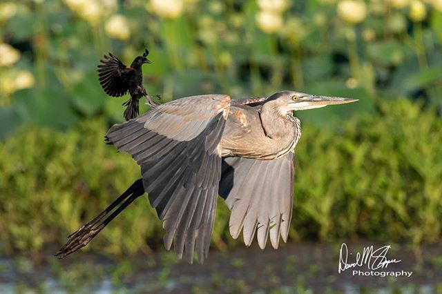 I've watched Great Blue Herons fight one another to the point I thought one would be killed. I've watched them defend themselves from Bald Eagles 🦅 trying to steal fish. Today, I watched them run screaming like little school girls from an ill tempered Red-winged Blackbird. #thefearisreal #wildlife #wildlifephotography
