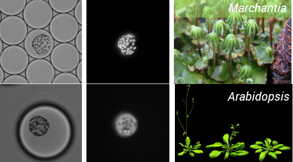 Figure 1: Encapsulation of protoplasts from model plant species