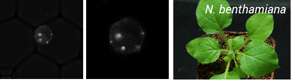Figure 2: Encapsulation of  N. benthamiana  protoplats expressing a nuclear targeted Venus reporter