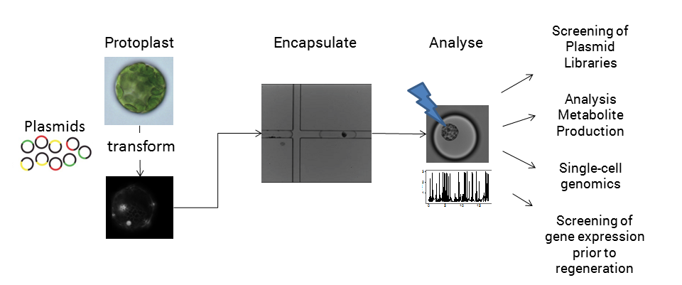 Figure 3: Schematic of microfluidic analysis of plant protoplasts and some of the potential applications.