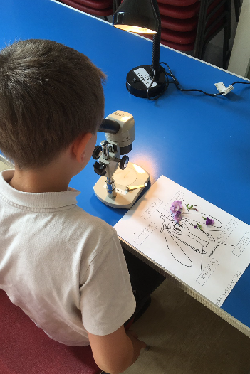 The children dissected plants to look up close at the reproductive parts under the microscope.