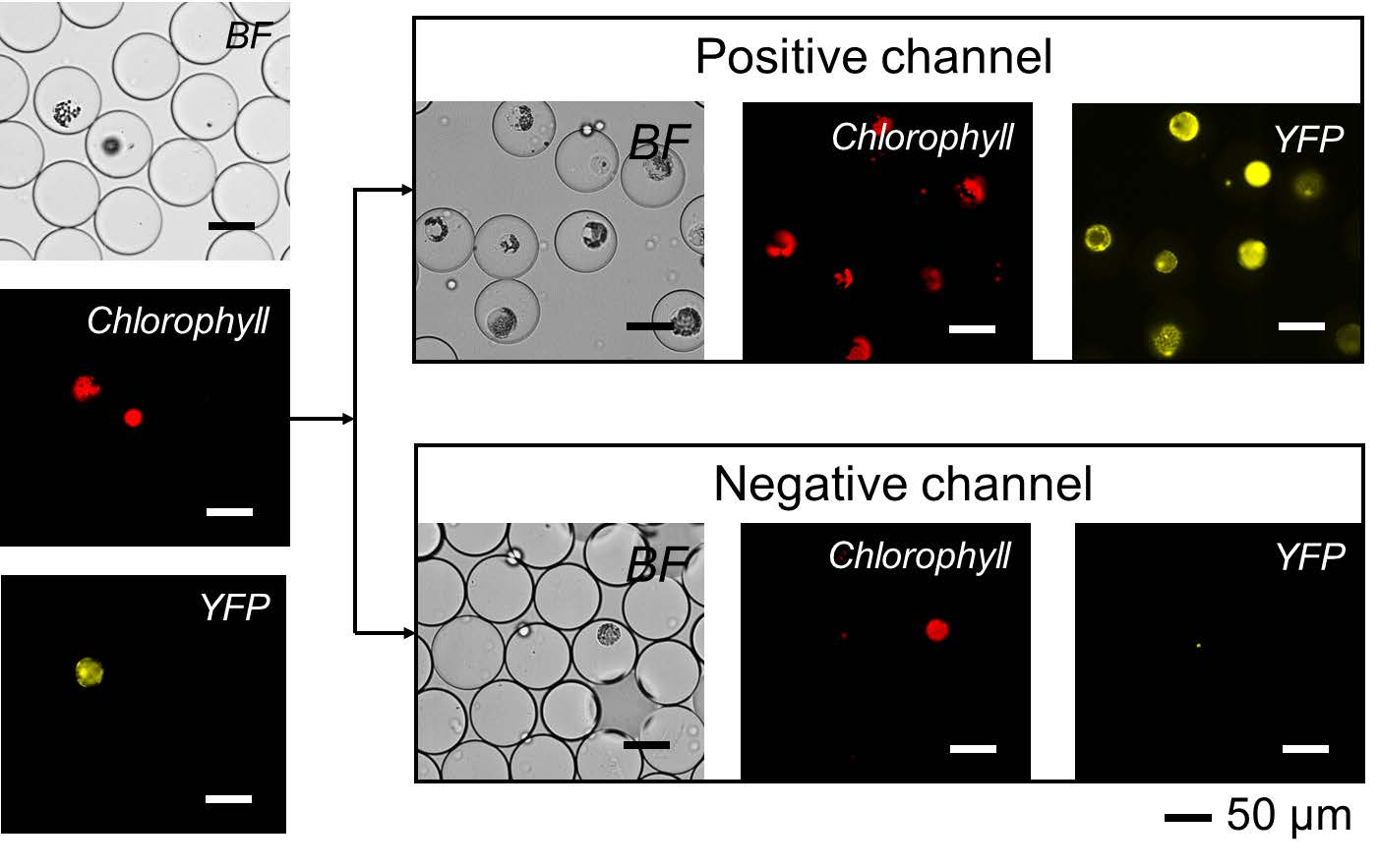 Microscopy images of protoplasts captured in droplets and sorted by fluorescence