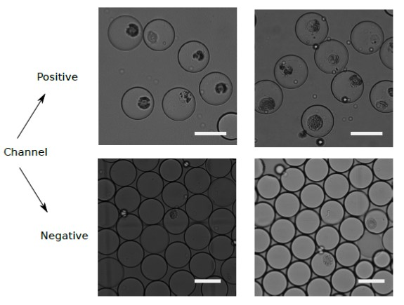 Sorting of M. polymorpha protoplasts: Microscopy images of microdroplets sorted into positive and negative channels based on their fluorescence intensity.