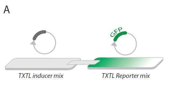 Figure A: Cell-free transcription-translation system (TXTL) using filter paper
