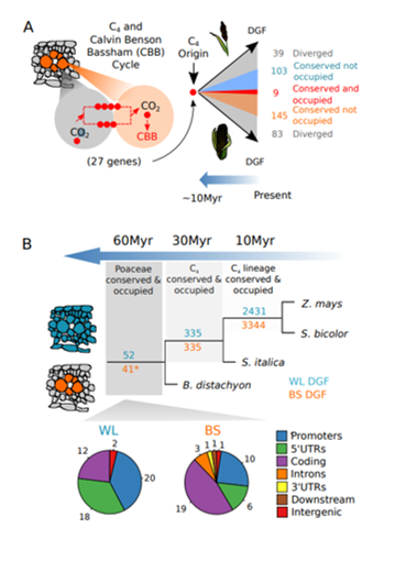 "Burgess et al. (2019): ""Fig 6: Hyper-conserved cis-elements in grasses recruited into C4 photosynthesis."""
