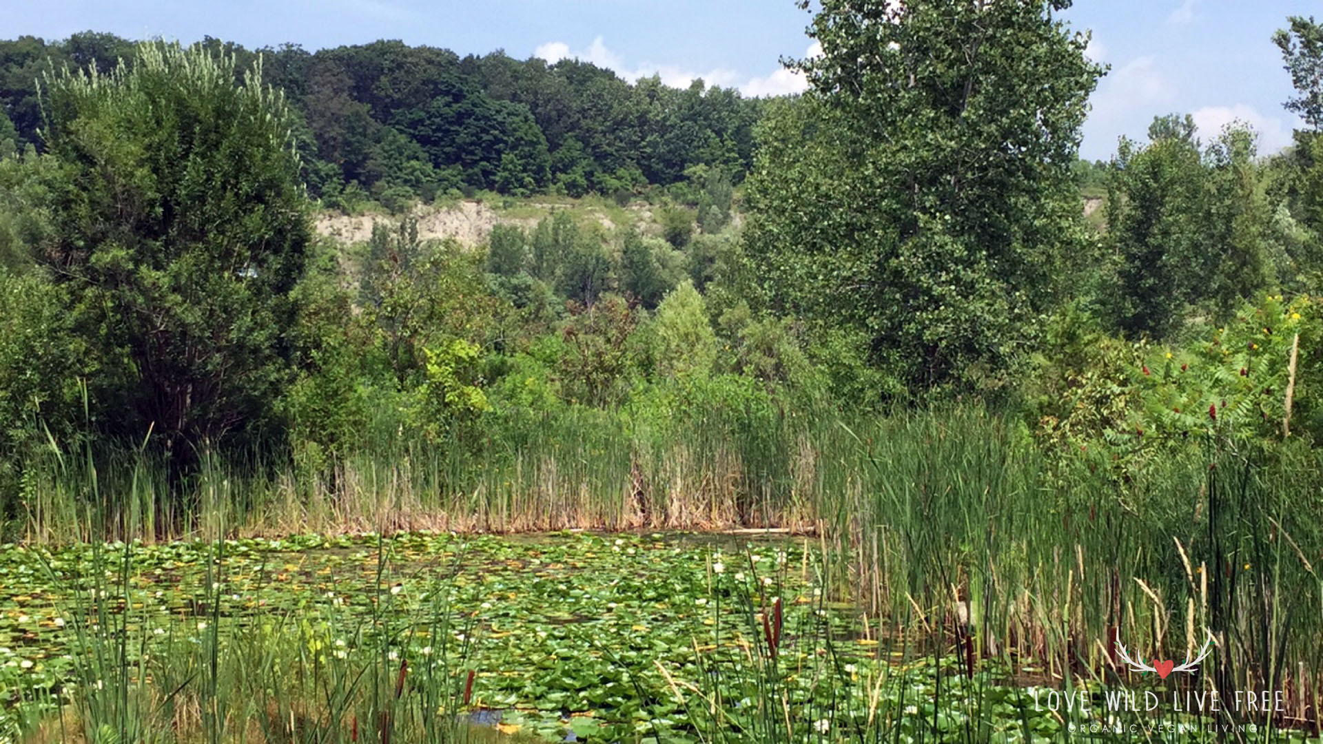 Lily pads and marsh vegetation at Toronto's Evergreen Brick Works.  Photo by LoveWildLiveFree.