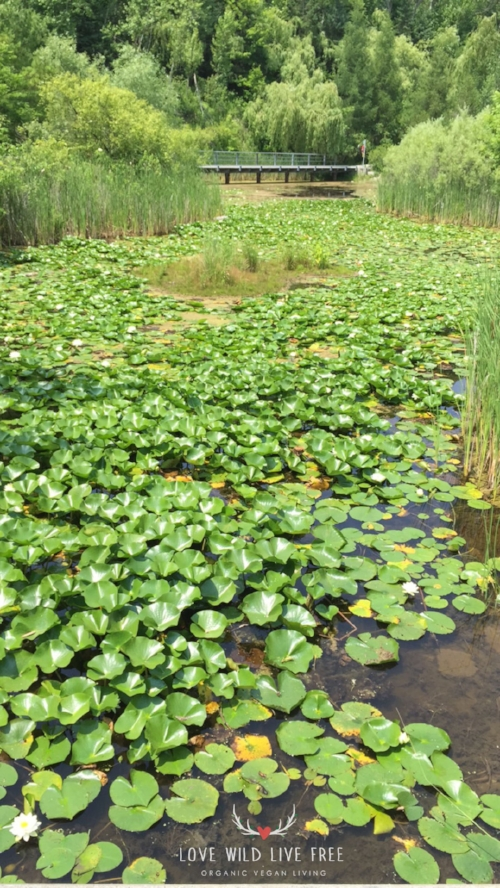 Lily pads and marsh vegetation at   Toronto's Evergreen Brick Works.  Photo by LoveWildLiveFree.  Photo by LoveWildLiveFree.