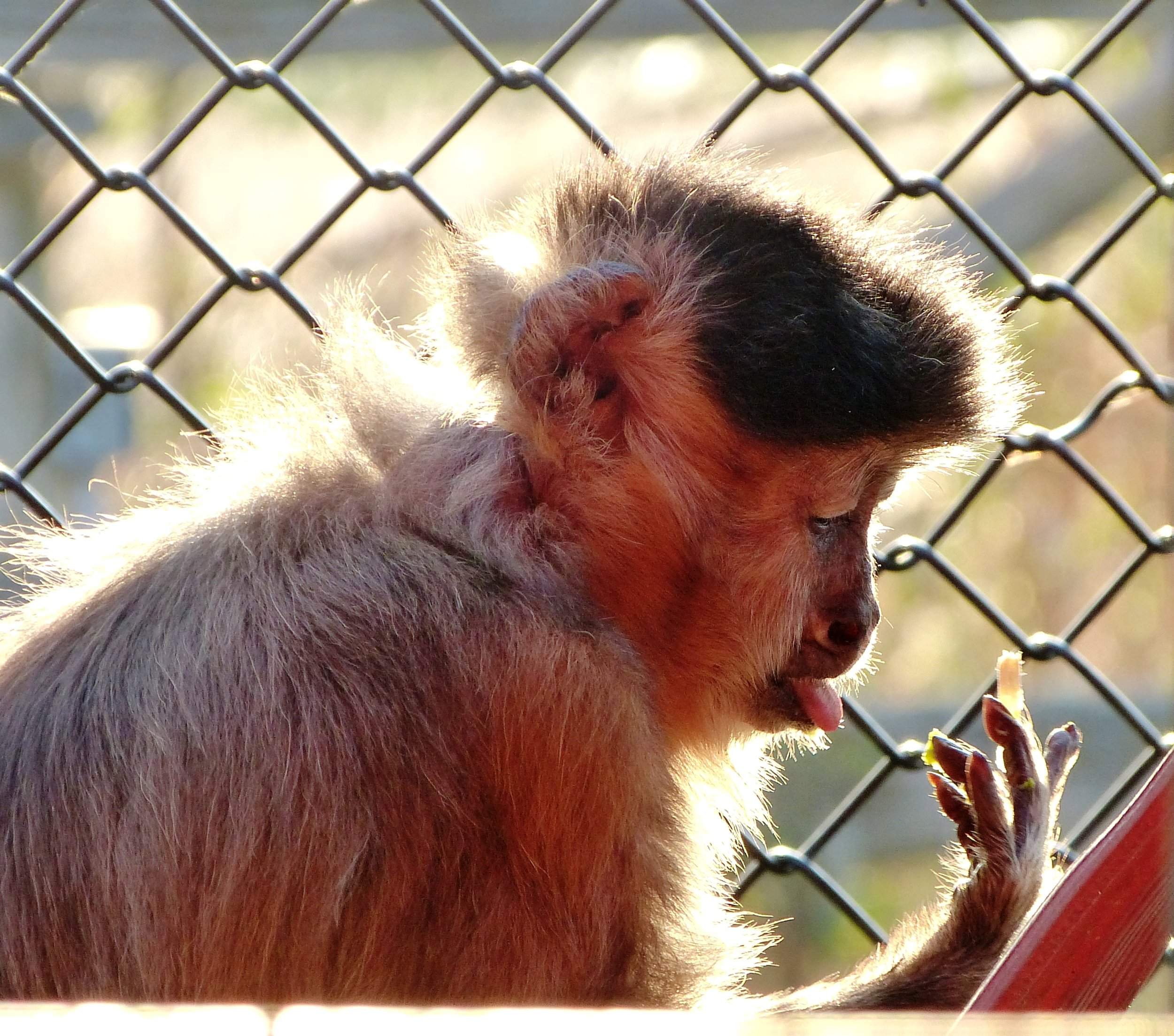 Cheeko, a Black-tufted Capuchin, lived in a greenhouse in a garden centre in Ontario. He had no outdoor space and little in the way of comforts.  Photo by:     Story Book Farm Primate Sanctuary .