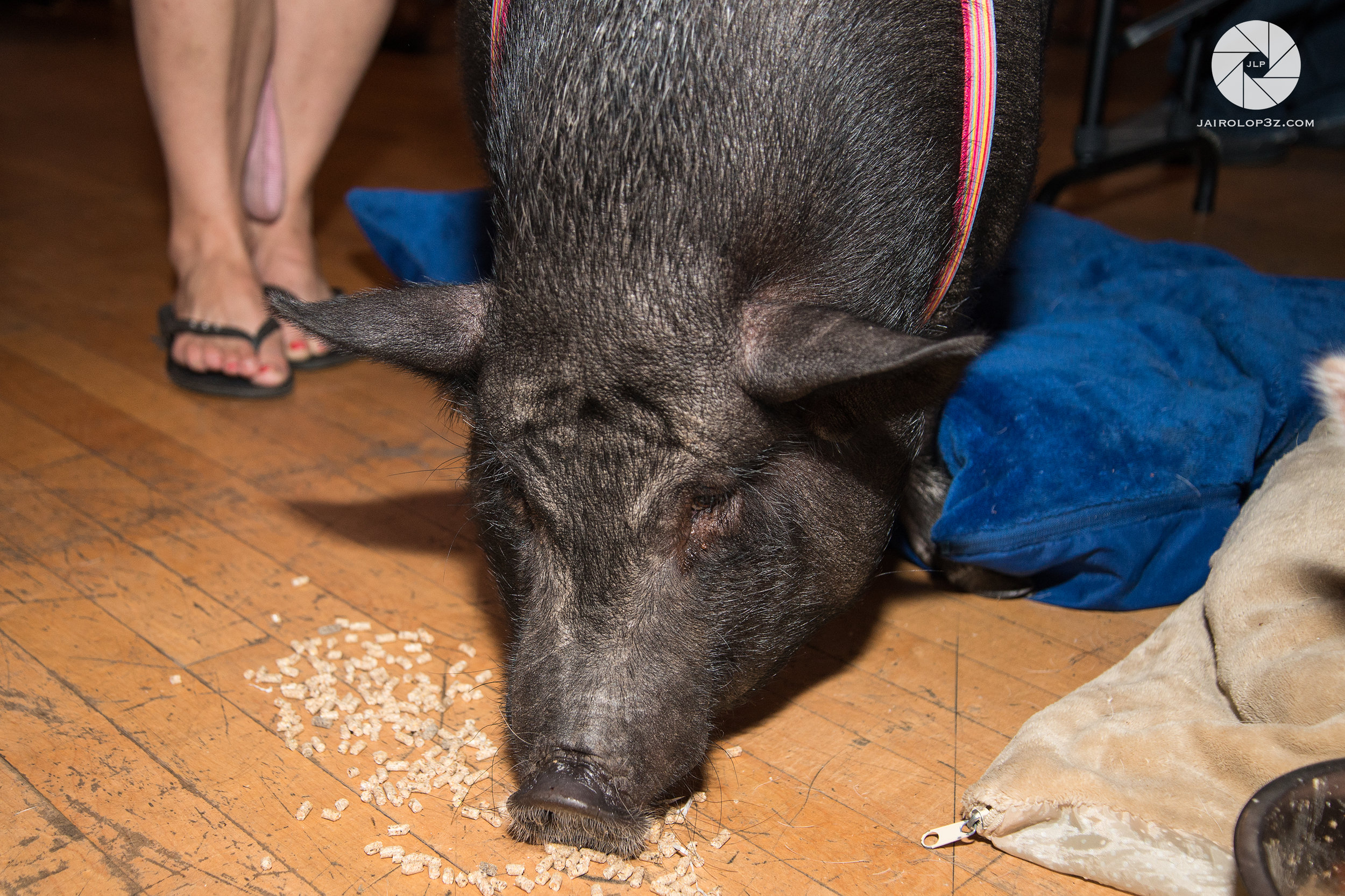 We were thrilled to have the rescue pigs of  @citypigsto  joining at the Vegan Social Pop-Up Event, including Persephone, the friendliest potbelly, pictured above.  Photo by:    Jairo Lop3z Productions.