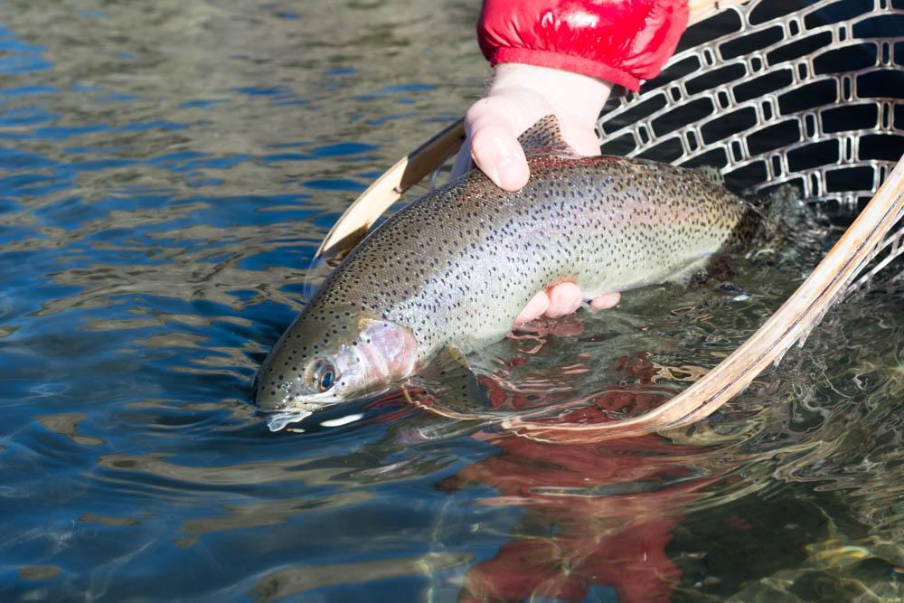 Rainbow Trout Missouri River, Montana