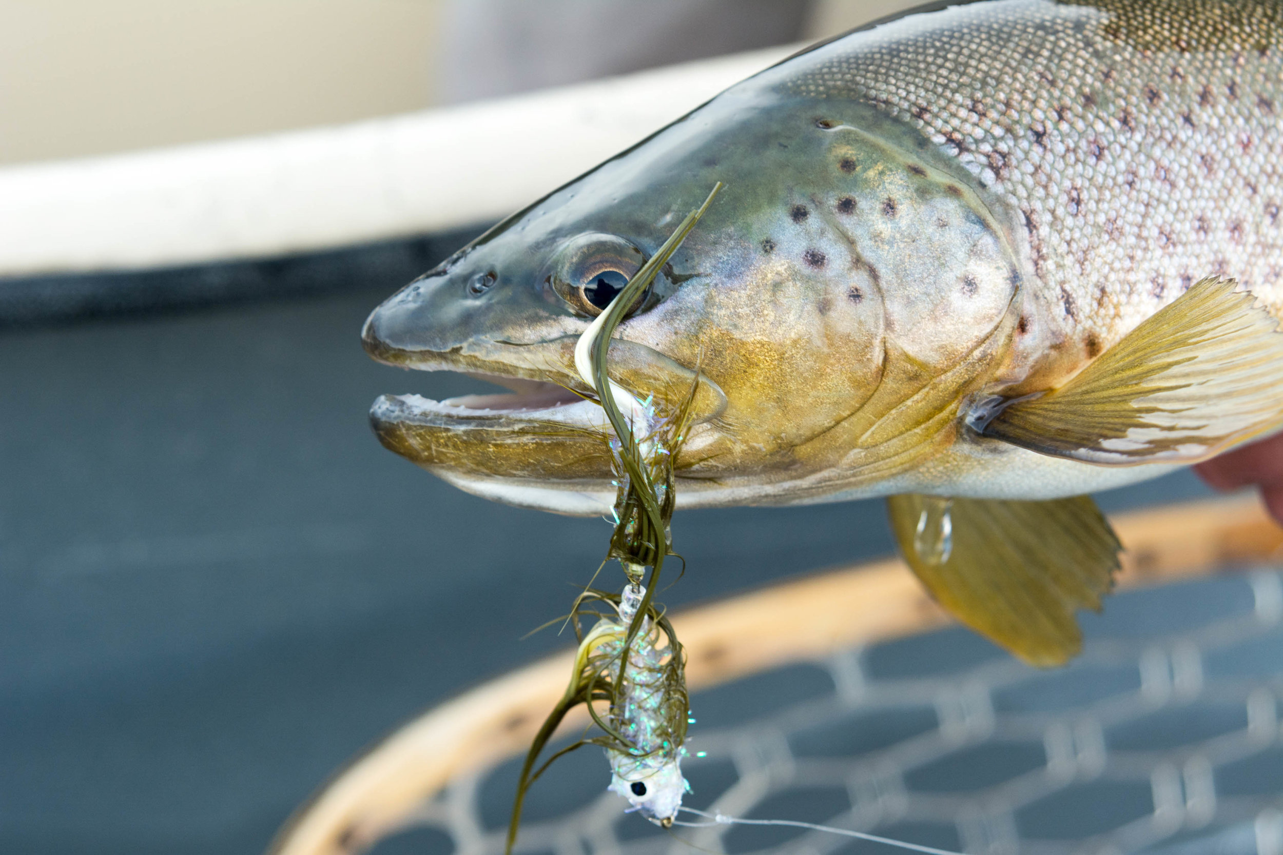 Upper Madison Brown Trout