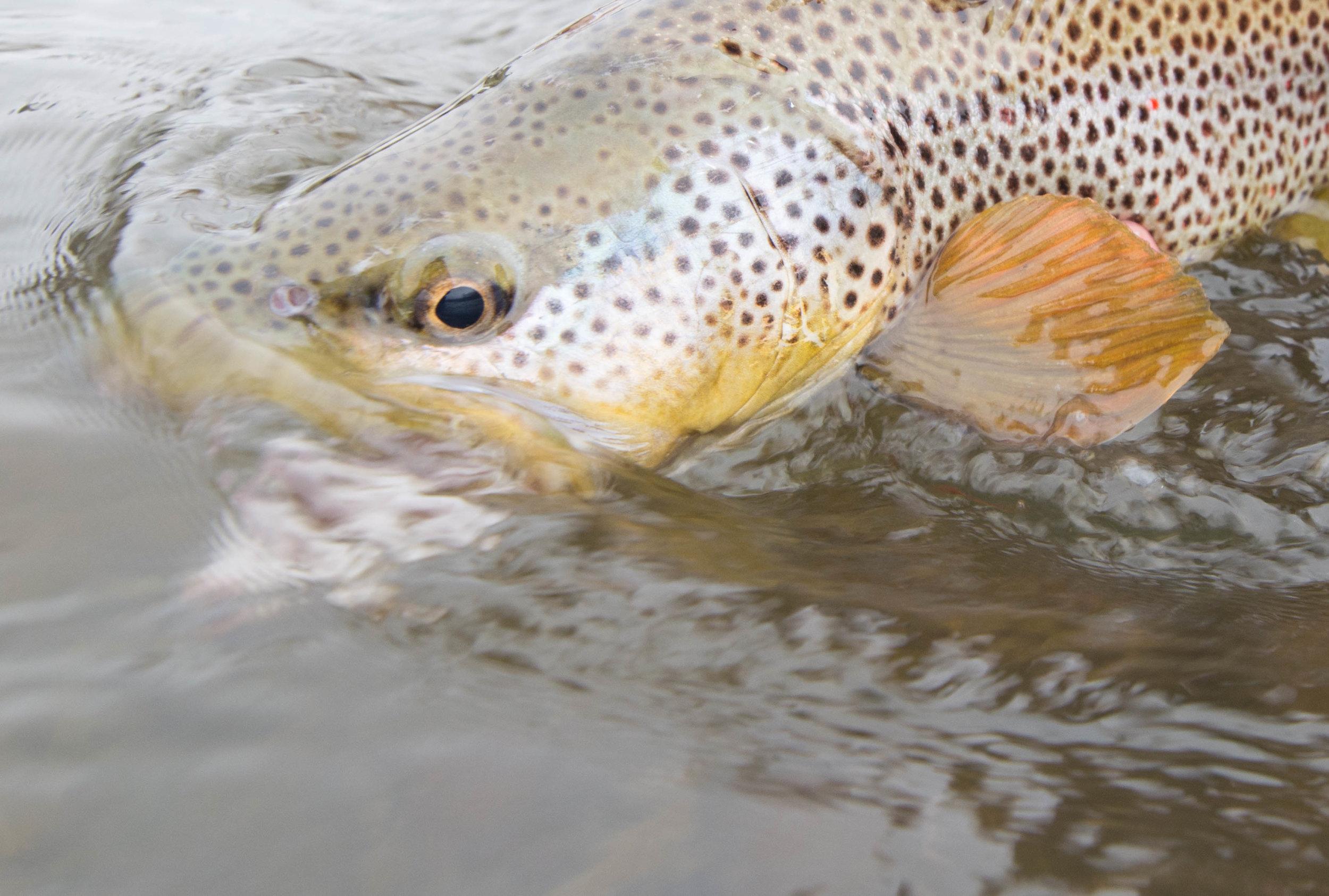 Missouri River trout fishing.