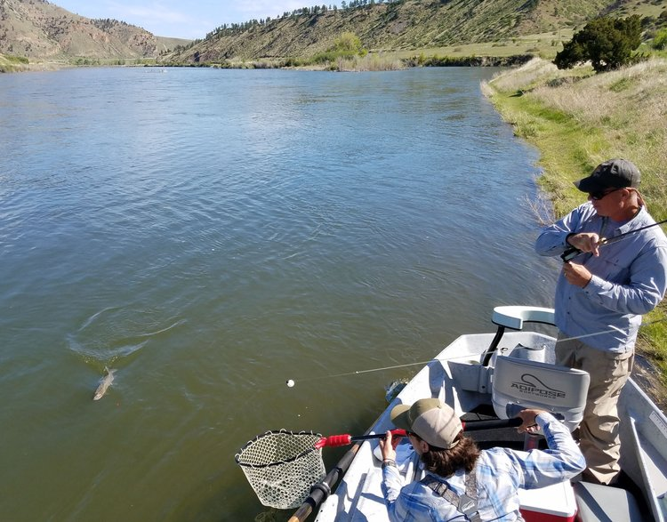 Missouri River Rainbow Trout comes to the net.