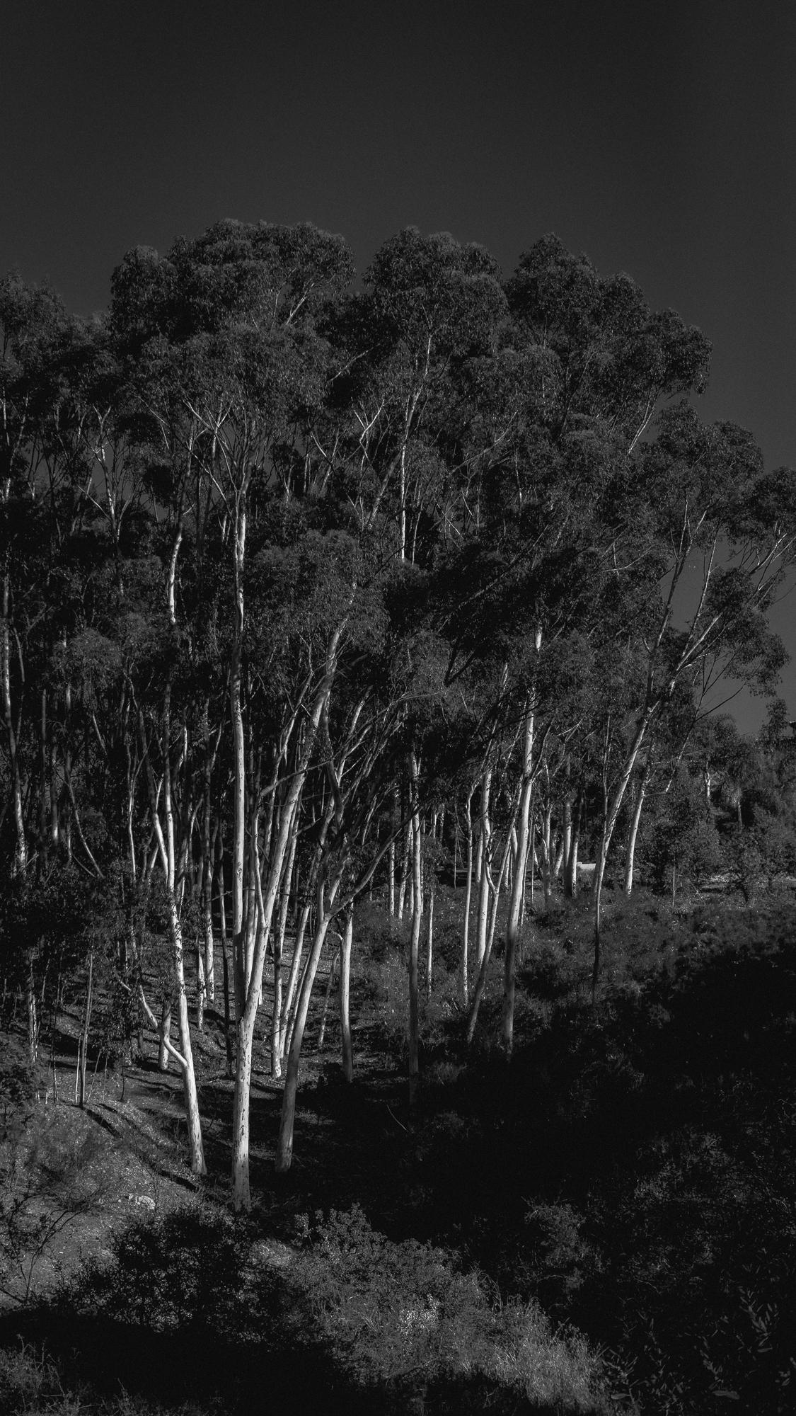 stand of eucalyptus trees, rancho santa fe, ca 1.31.18