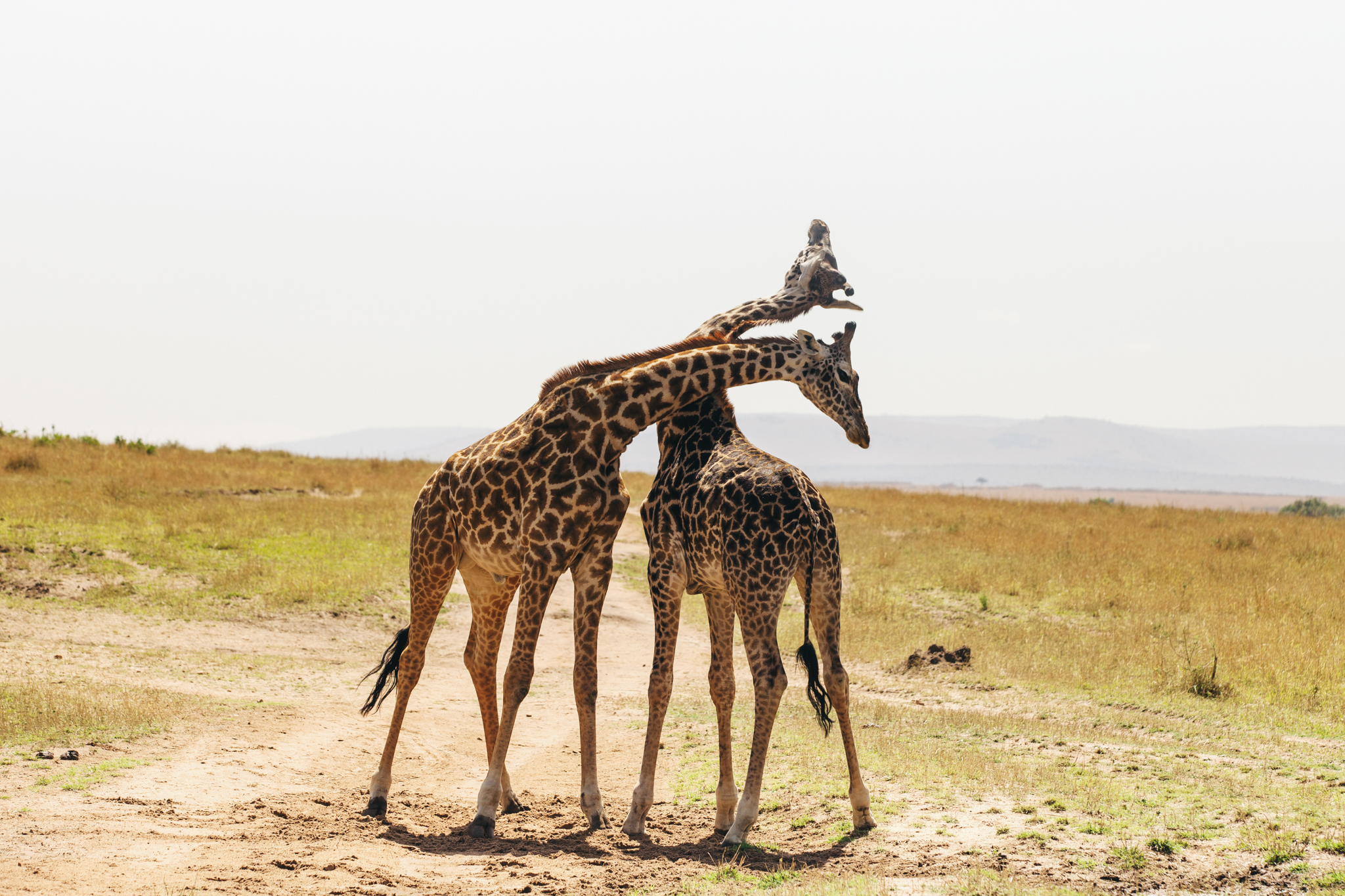 SO many giraffe pictures... I couldn't help myself... they're just so beautiful!