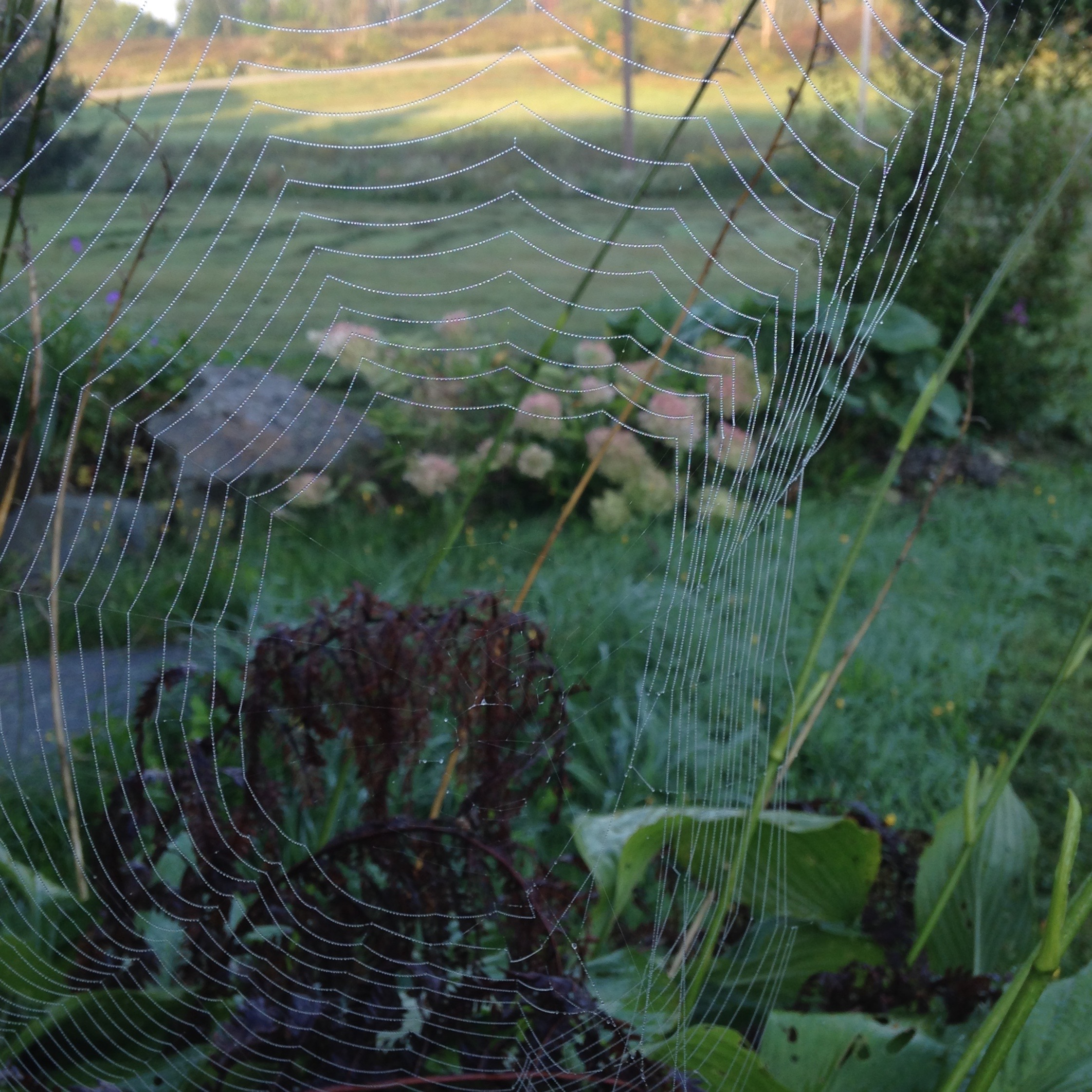 In my garden this morning: I wish I could knit as fast as a spider spins its web