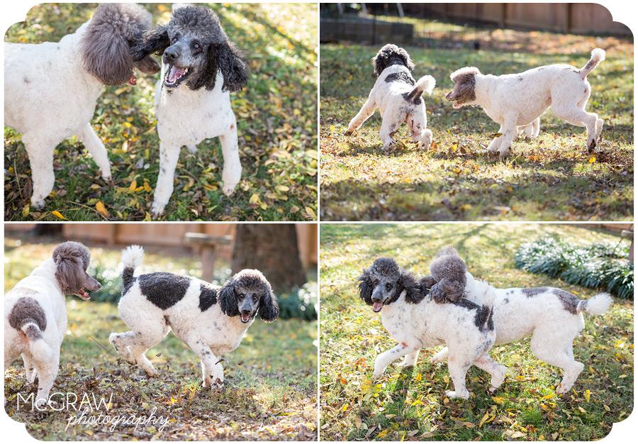 Playful Poodle Images