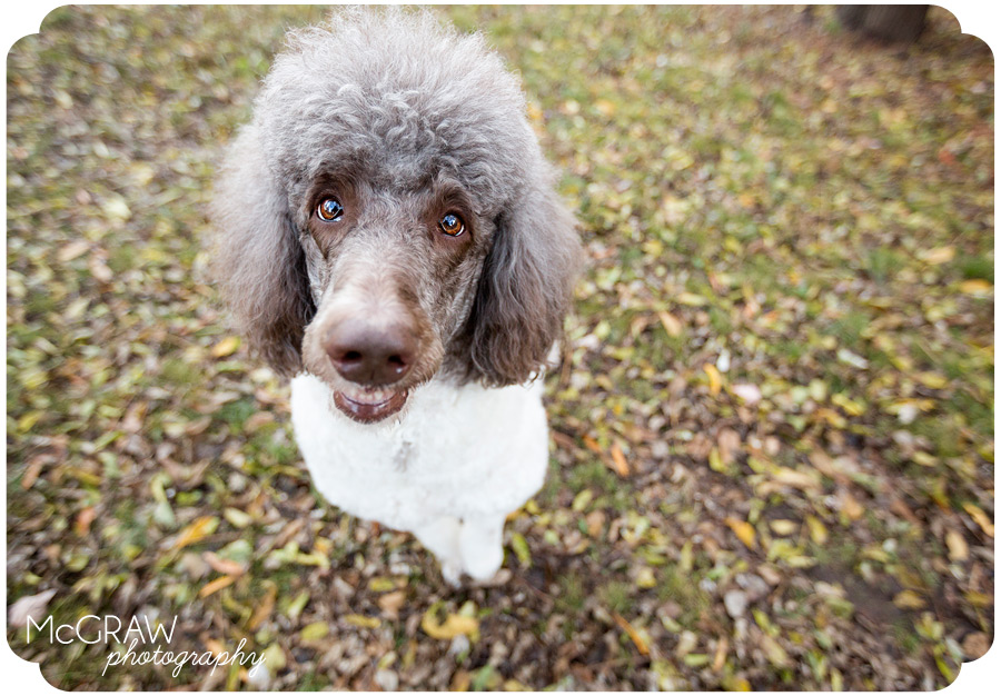 Fun Poodle Photography