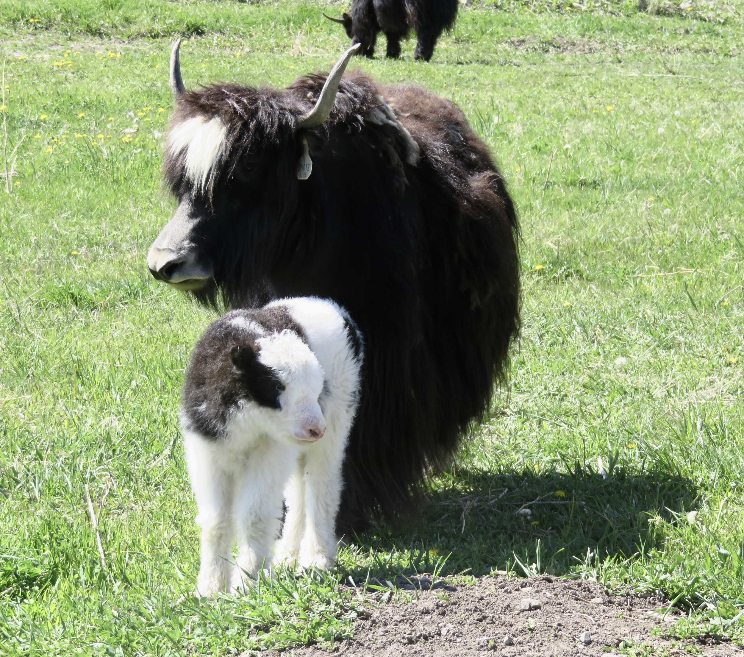Boots and her calf Devi