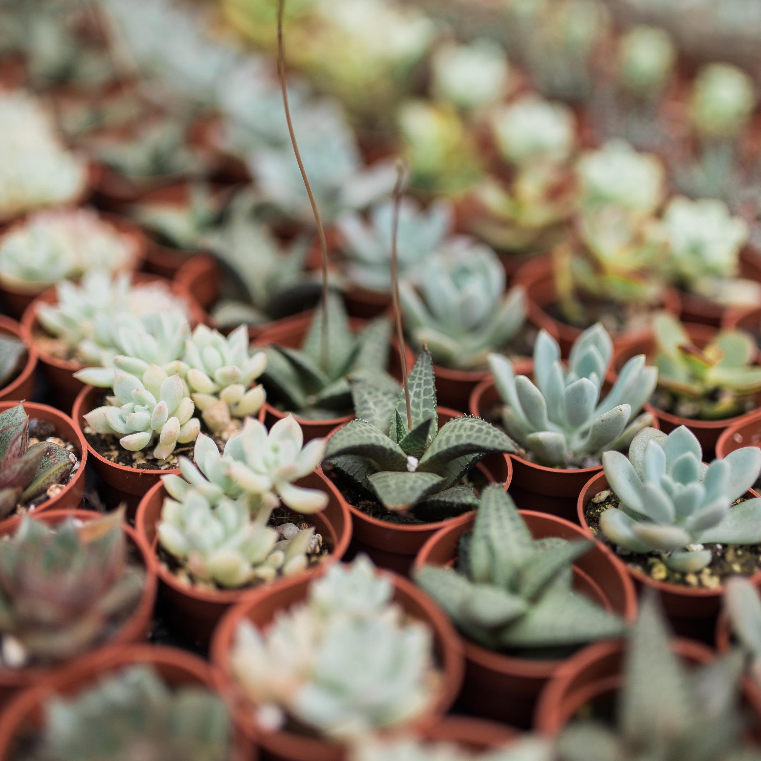 BBGC Succulents.jpg